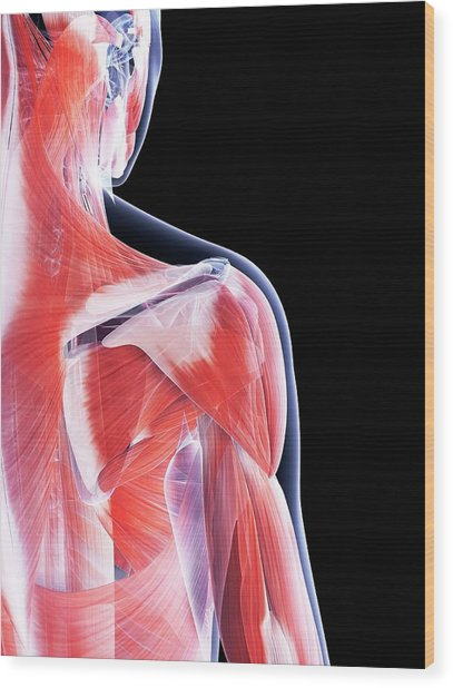 Female Muscular System Wood Print by Sebastian Kaulitzki