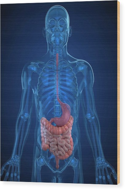 Healthy Digestive System Wood Print by Sciepro/science Photo Library