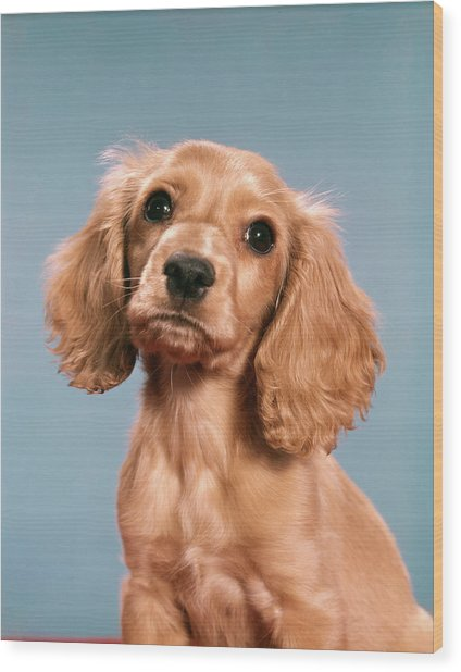 1960s Cute Cocker Spaniel Puppy Looking Wood Print