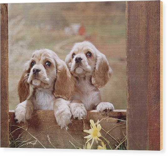1970s Two Cocker Spaniel Puppies Wood Print