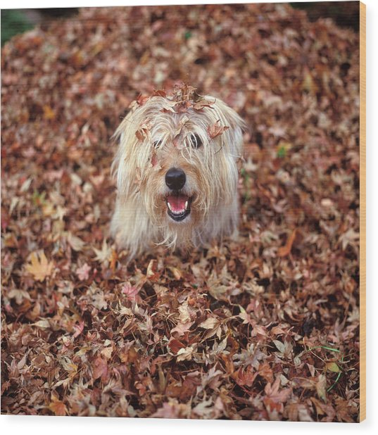 1990s Dog Covered In Leaves Wood Print