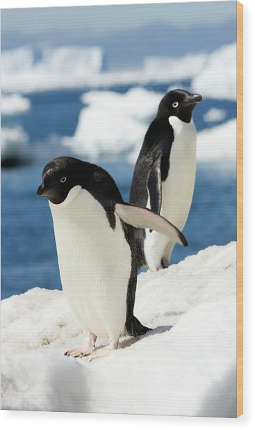 Adelie Penguins Wood Print by William Ervin/science Photo Library