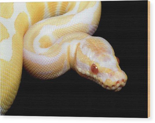 Albino Royal Python Wood Print