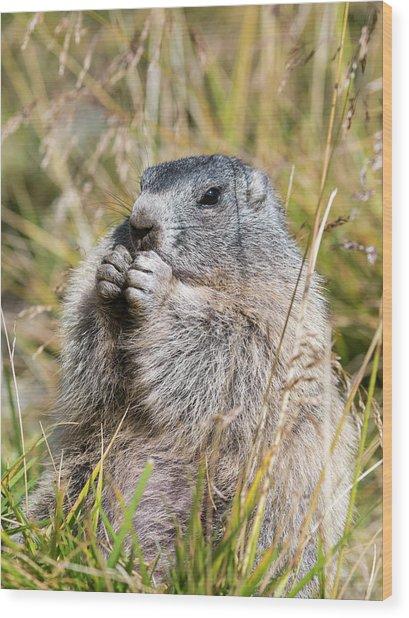 Alpine Marmot (marmota Marmota Wood Print by Martin Zwick