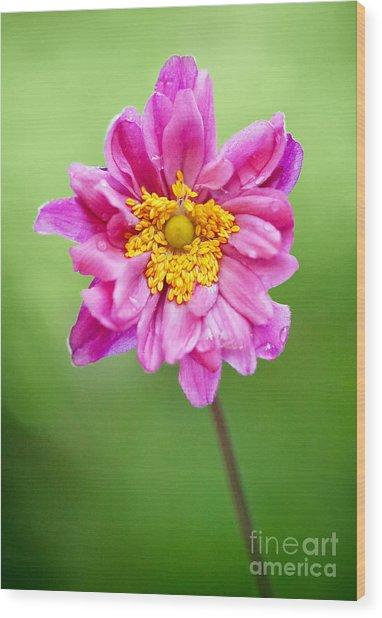 Anemone Flower Wood Print by Natalie Kinnear