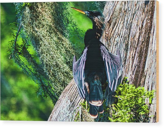 Anhinga On A Cyprus Wood Print by Frank Feliciano