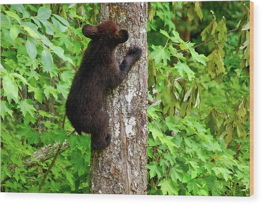 Baby Bear Wood Print