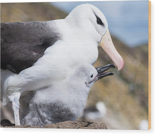 Black-browed Albatross (thalassarche Wood Print