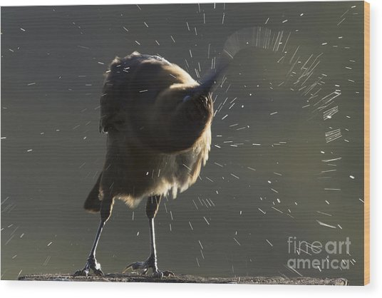 Boat Tailed Grackle Wood Print