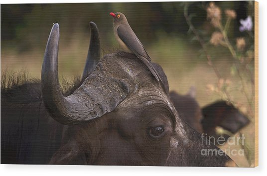 Buffalo And Oxpecker Wood Print
