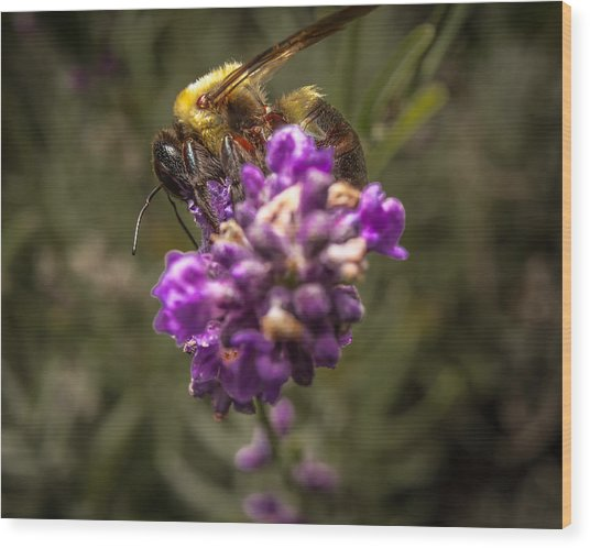 Carpenter Bee On A Lavender Spike Wood Print