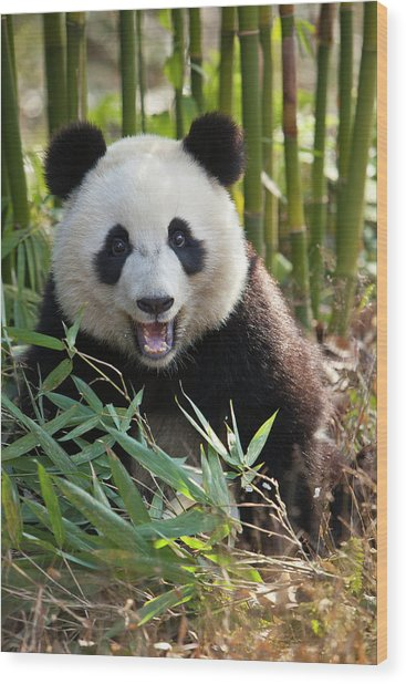 China, Chengdu, Chengdu Panda Base Wood Print