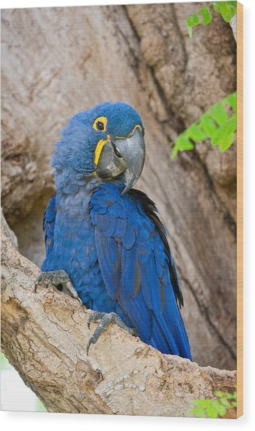 Close-up Of A Hyacinth Macaw Wood Print