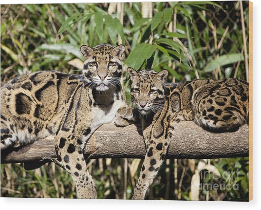 Clouded Leopards Wood Print