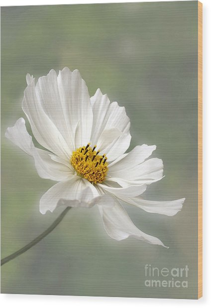 Cosmos Flower In White Wood Print