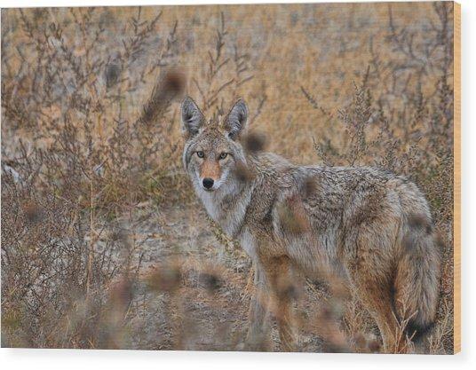 Coyote Eyes Wood Print