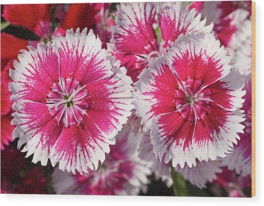 Dianthus 'summer Splash' Flowers Wood Print by Ann Pickford