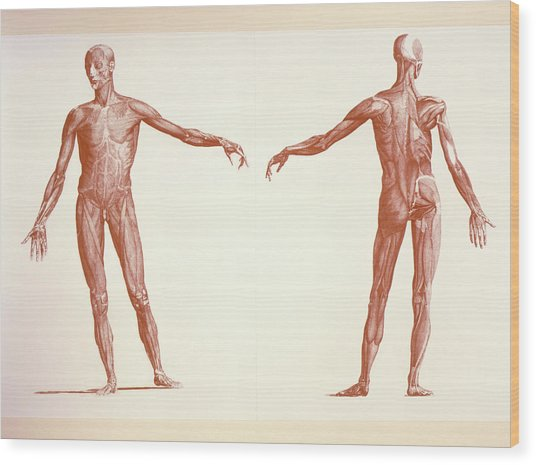 Engraving Of Human Skeletal Muscles Wood Print by Sheila Terry/science Photo Library
