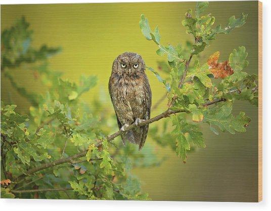 Eurasian Scops Owl Wood Print