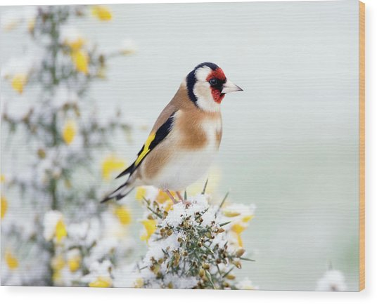 European Goldfinch Wood Print by John Devries/science Photo Library
