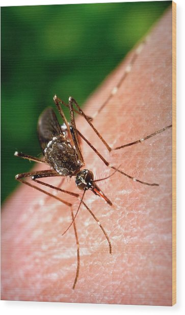 Feeding Mosquito Wood Print by Cdc/science Photo Library