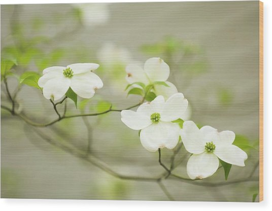 Flowering Dogwood (cornus Florida) Wood Print