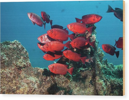 Goggle Eyes On A Reef Wood Print by Georgette Douwma