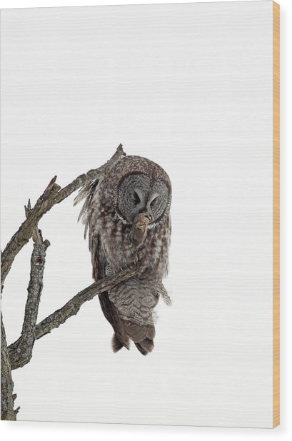 Great Grey Owl  Wood Print by William Cooke