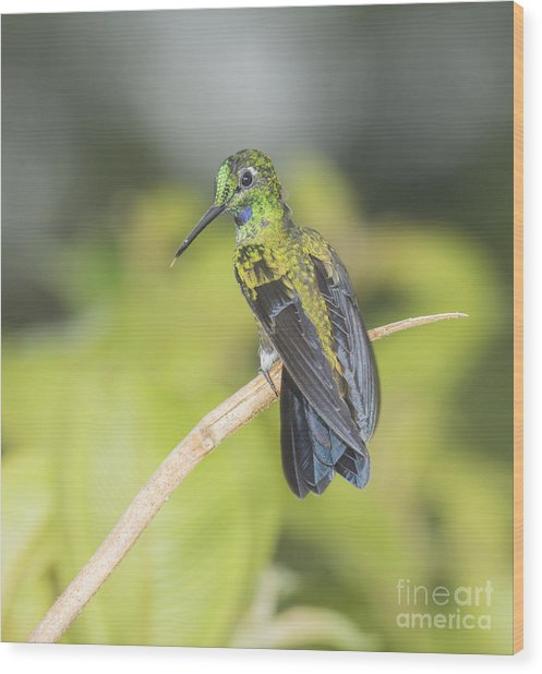 Green-crowned Brilliant Hummingbird Wood Print