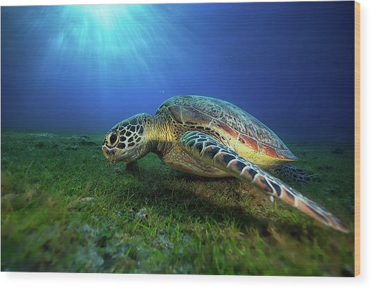 Green Turtle Wood Print by Barathieu Gabriel
