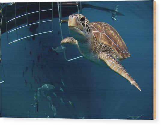 Green Turtle Swimming Wood Print by Peter Scoones/science Photo Library