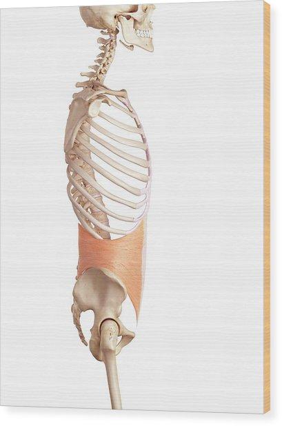 Human Abdominal Wood Print by Sebastian Kaulitzki/science Photo Library