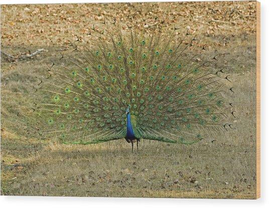 Indian Peacock Wood Print by Tony Camacho/science Photo Library