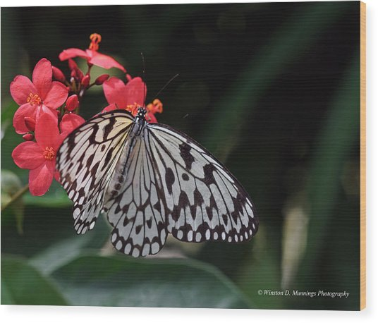 Large Tree Nymph Butterfly Wood Print