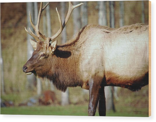 Male Elk Wood Print