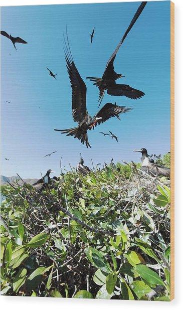 Magnificent Frigatebirds Wood Print by Christopher Swann