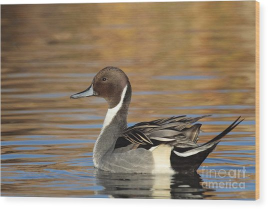 Male Pintail Wood Print
