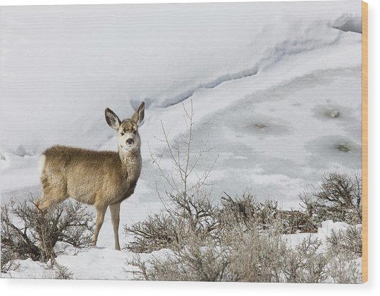 Mule Deer In Grand Teton National Park Wood Print