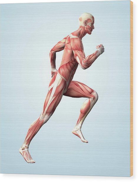 Muscular System Wood Print by Roger Harris
