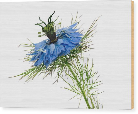 Wood Print featuring the photograph Nigella Damascena by Paul Gulliver