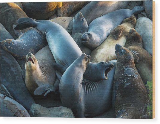 Northern Elephant Seals At Piedras Wood Print by Russ Bishop