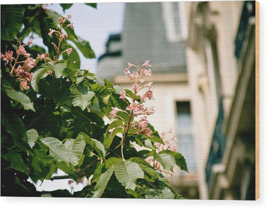 Paris The City Of Blossoming Chestnut Trees  Wood Print
