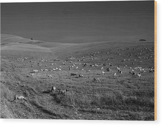 Sheep Grazing In The Countryside Tarquinian Wood Print