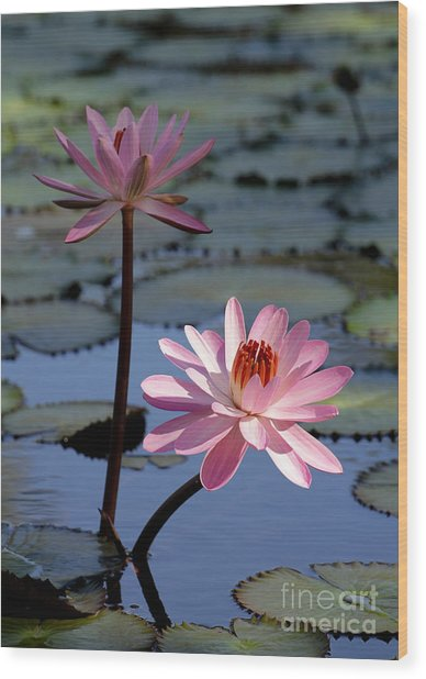 Pink Water Lily In The Spotlight Wood Print