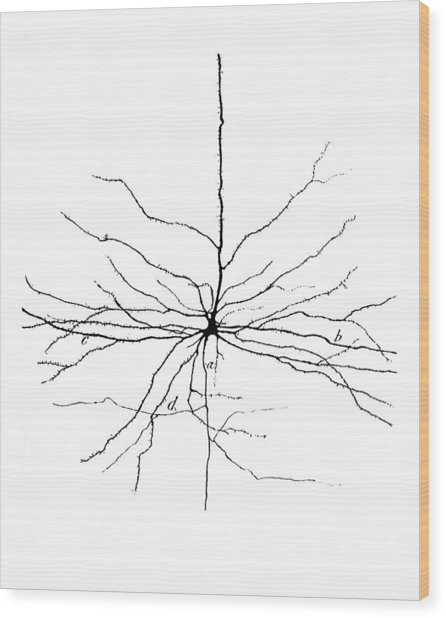 Pyramidal Cell In Cerebral Cortex, Cajal Wood Print