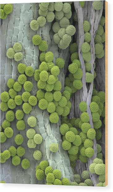 Ragweed Pollen Grains Wood Print by Martin Oeggerli/science Photo Library