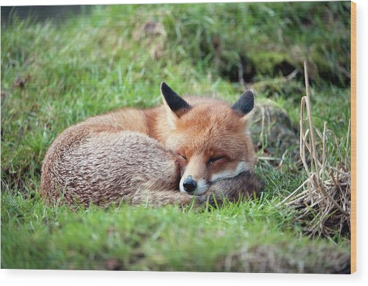 Red Fox Wood Print by Dr P. Marazzi/science Photo Library