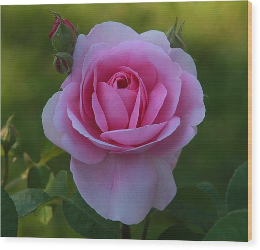 Rose Of Spring Wood Print by Edward Kocienski