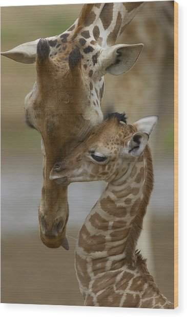 Rothschild Giraffe And Calf Wood Print