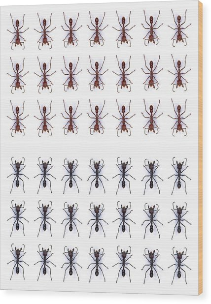 Rows Of Ants Wood Print by Gustoimages/science Photo Library